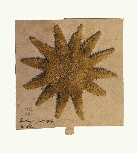 Archive_no_00126_Starfish.jpg