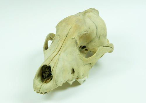 dog_skull.jpg